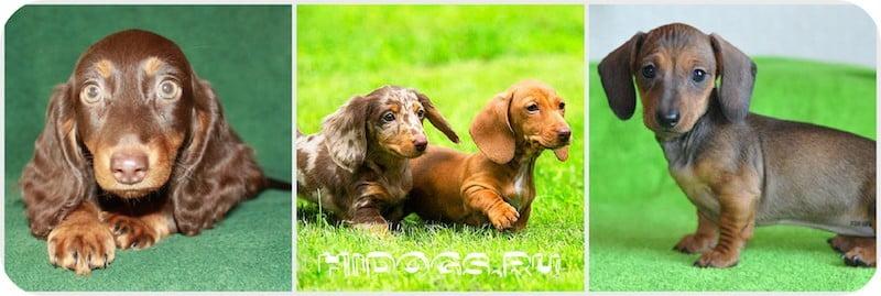 Дрессировка и воспитание таксы в домашних условиях, зачем и как правильно воспитать щенка, обучение командам самостоятельно.