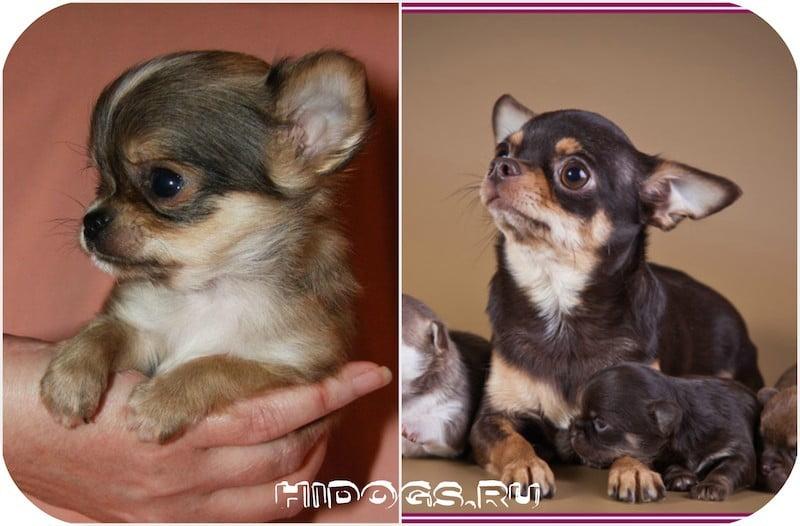 Таблица веса собак породы чихуахуа по неделям в граммах, стандарт породы, роста и веса, сколько должна весить собака.