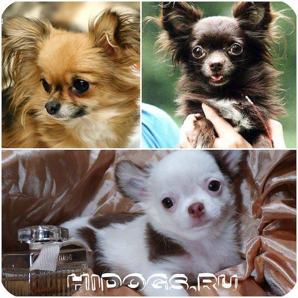 Кастрация собаки чихуахуа: все за и против, стоит ли стерилизовать или кастрировать чихуахуа