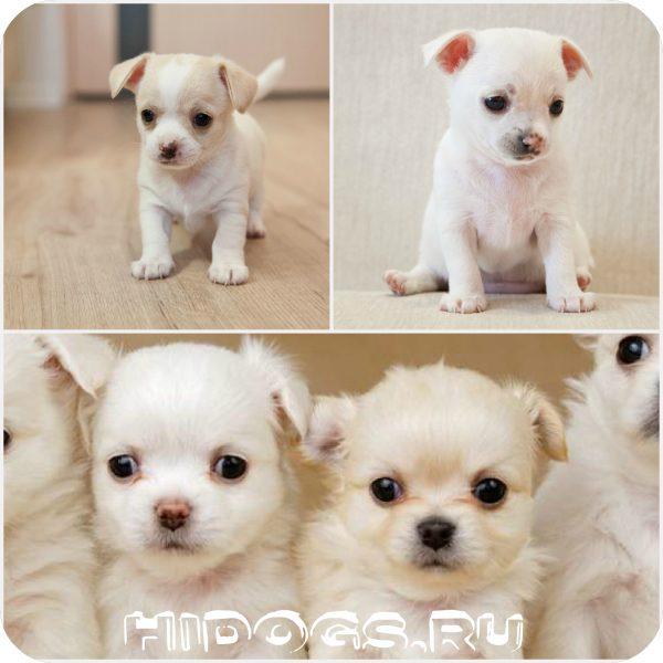 Чихуахуа щеки: как выбрать щенка, на что обратить внимание, мальчик или девочка - как выбрать пол щенка .