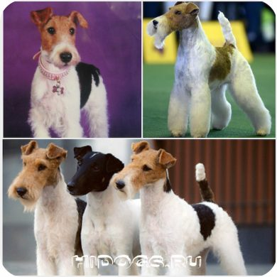 Все о породк :жесткошерстного фокстерьера: описание, стандарт, характер, что нужно знать о собаке.