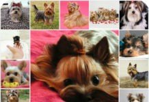 Йоркширский терьер: стандарт породы, описание, что нужно знать о собаке. Выбор йоркширского терьера.