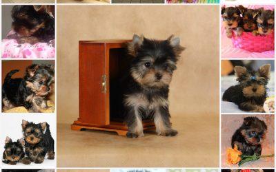 Щенки йоркширского терьера: как правильно кормить маленького йорка, что нужно знать о рационе питания собаки.