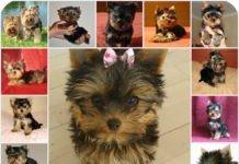 Самые расспрастраненные заболевания йоркширских терьеров, что нужно знать о здоровье собаки. Помощь при расспространненых симптомах у йоркширских терьеров