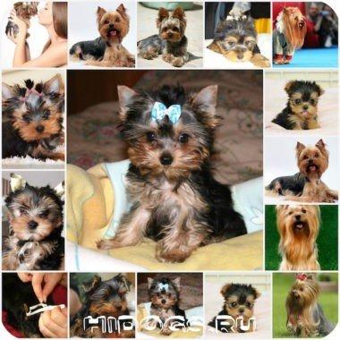 Йоркширский терьер: как правильно поставить уши собаке.