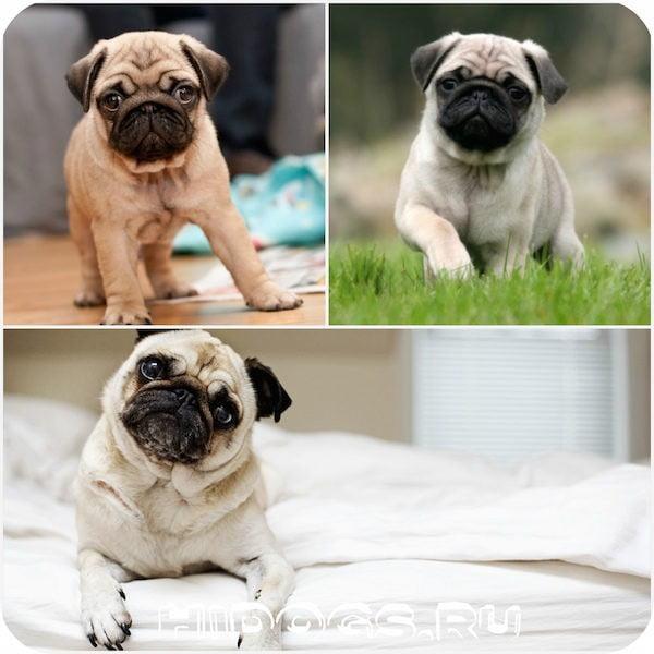 Как приучить мопса к туалету: эффективный способ обучения собаки, с чего и как начать обучать щенка.