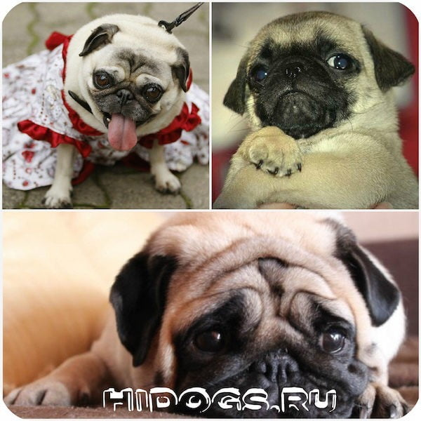 Толстый мопс: вес, как показатель здоровья, как похудеть собаке, как вес влияет на здоровье, правильное питание для собаки.