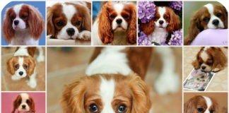 Описание породы - кавалер кинг чарльз спаниель, стандарт породы, все о собаке.
