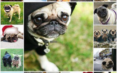 Девочка мопс: как выбрать имя собаке, красивые клички, как назвать собаку.