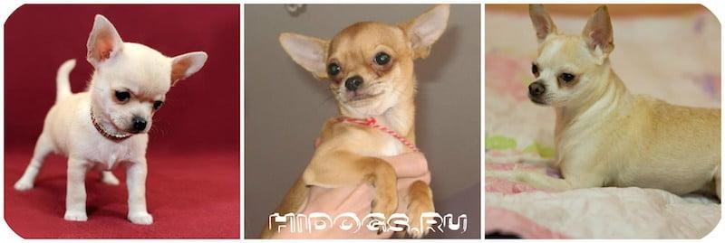 Как правильно приучить чихуахуа к туалету, лотку и выгулу. Что нужно знать, воспитания щенка.