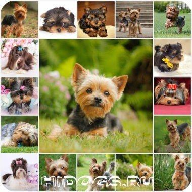 Как ухаживать за щенокм и взрослой обакой йоркширского тереьера, бивер йорка; содержание, питание, уход, грумминг.