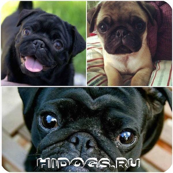 Мопс: особенности ухода и содержания щенка.