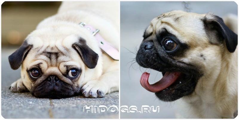 Мопс: характер собаки, особенности содержания и ухода.
