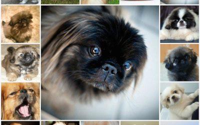 Как ухаживать за пекинесом, за щенком и взрослой собакой, содержание собаки, особенности ухода.