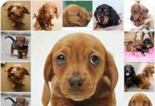 Содержание и уход за щенками такс, особенности породы, воспитание собаки, что нужно знать.
