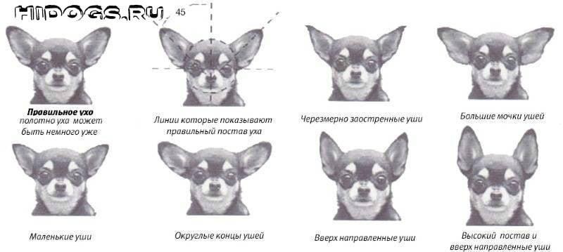 Как правильно поставить уши собаке породы чихуахуа, что нужно знать, как сделать правильную постановку.