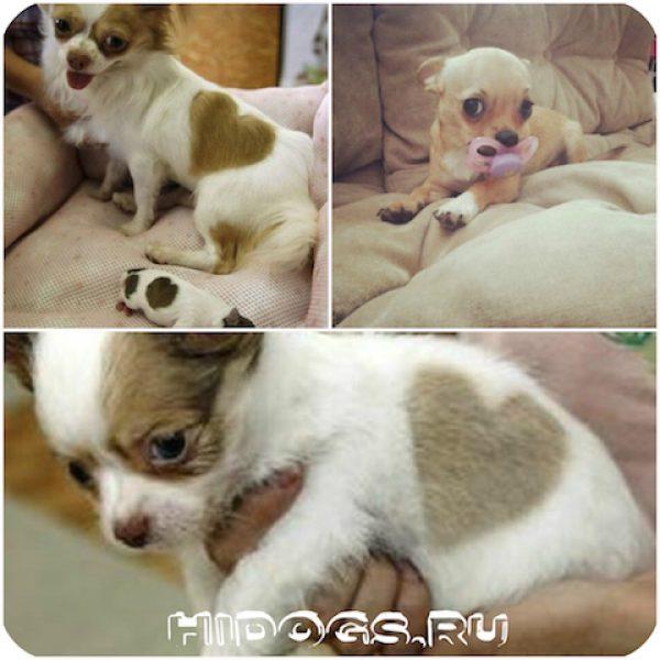 chihuahua_mini_sobaki