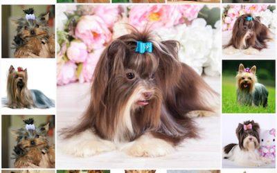 Йоркширский терьер: варианты имен для собак мальчиков, клички для собаки - как выбрать имя щенку.