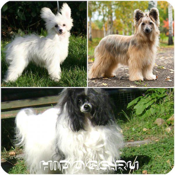 Уход за китайской хохлатой собакой, содержание в квартире, кормление, особенности породы.