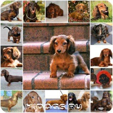 Все о кроличьих таксах, особенности породы, описание и стандарт, характер и уход.