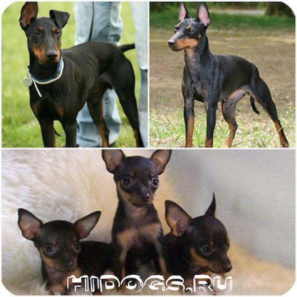 Особенности породы миниатюрного, манчестерского терьера, стандарт породы, характер, воспитание и уход за собакой.