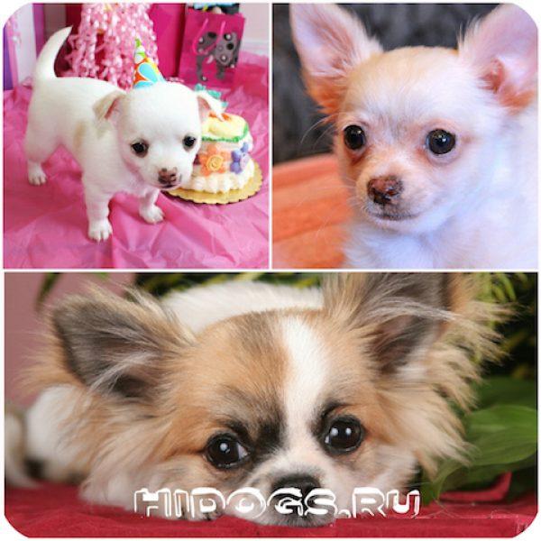 _mini_chihuahua_sobaka_