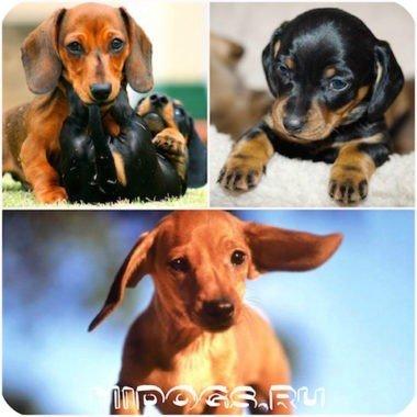 Такса что нужно знать о собаке, особенности породы, воспитание и уход за собакой.