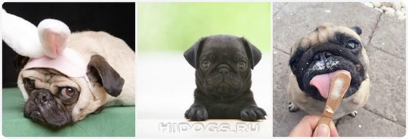 Мопс: клички для щенка, как выбрать имя мальчику мопса, варианты имен для собаки.