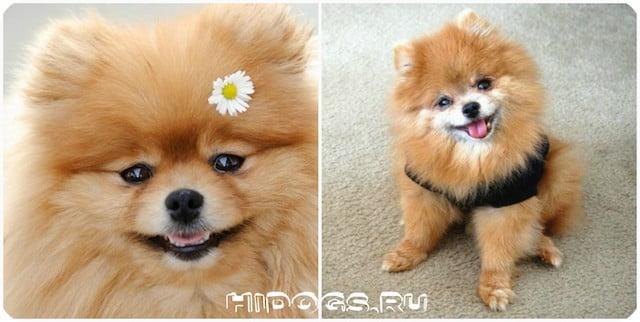 Особенности ухода и содердания немецкого шпица, стандарт породы, характер собаки.