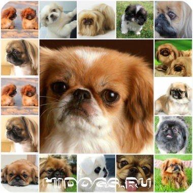 Пекинес - как назвать мальчика, варианты имен для пекинеса, какое имя вабрать для собаки.