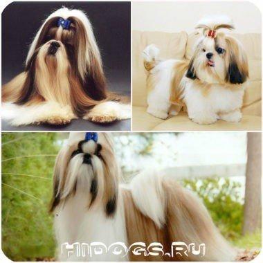 Ши тцу: особенность породы, уход за щенками и взрослой собакой, характер собаки.