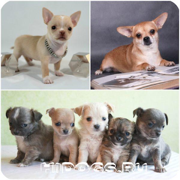 Чихуахуа: как назвать собаку, варианты кличек и имен для собак девочек