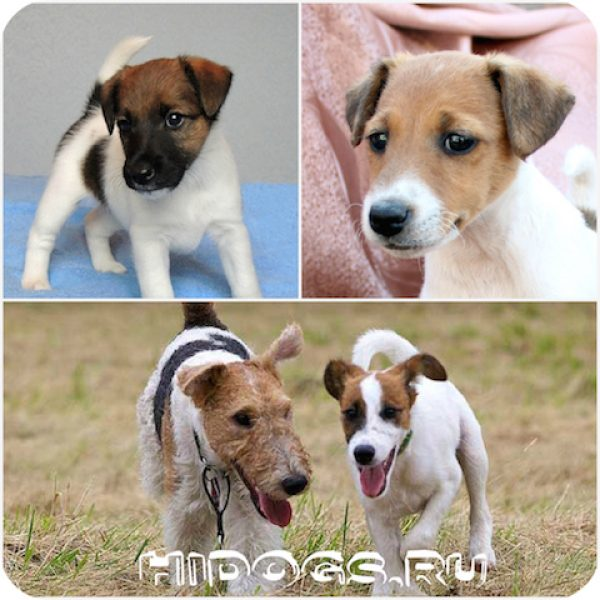 Все о породе гладкошерстного фокстерьера уход и особенности, характер собаки, история породы, стандарт.