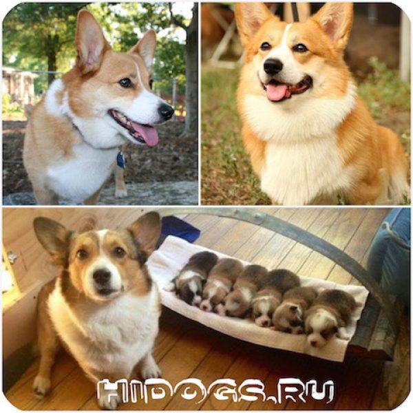Корги: характер особенности ухода за собакой, щенки вельш корки.