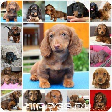 Такса: варианты имен для девочек, как правильно выбрать имя для собаки.