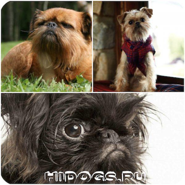 Особенности брюсельский гриффонов, характеристика породы, выбор щенка, история.