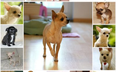 Как и чем правильно кормить собак породы чихуахуа, сбалансированное питание, натуральное кормление или сухой корм - что выбрать для собаки.