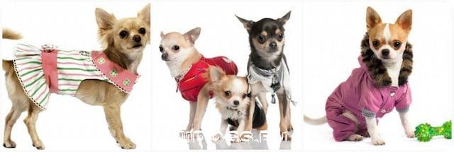 Одежда для собак чихуахуа, как снять мерки, какую ткань выбрать, как шить самостоятельно.