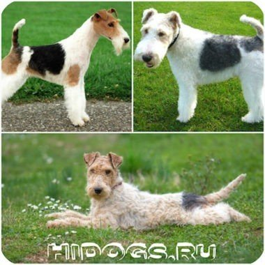 Все о щенках фокстерьера, описание породы, характеристики и особенности, выбор щенка.