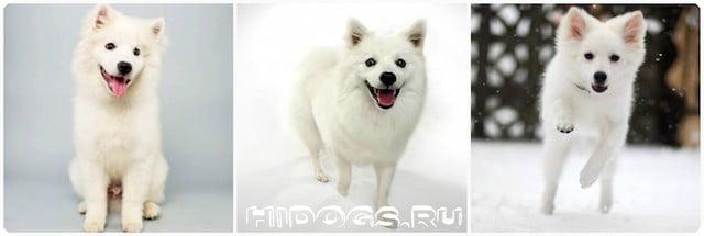Все о породе эскимосский шпиц, особенности содержания, уход за собакой.