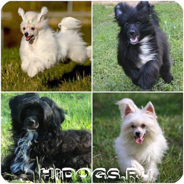 китайская хохлатая пуховая собака: особенности, характер, отзовы о породе.