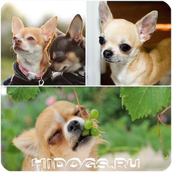 Особенности воспитания, характера, темперамента и обучаемости собак породы чихуахуа. Подробно о характере собаки.