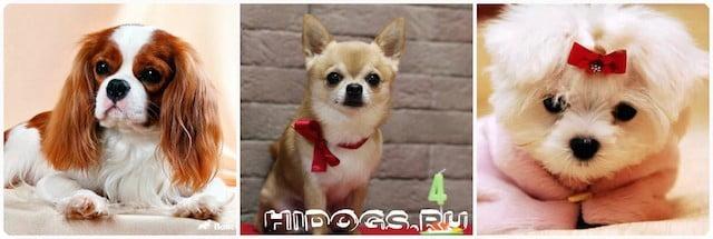 Топ 20 самых маленьких пород, самые маленькие собаки в мире, описание пород.