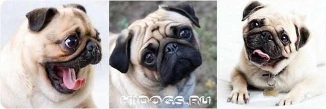 Чем кормить собаку мопса, правильный рацион питания, чем кормить.