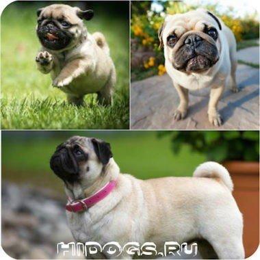 Сколько лет живет мопс, особенности ухода за собакой, заболевания породы мопсов, здоровье.
