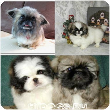 pekines-dog-mini