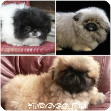 pekines-mini-dog