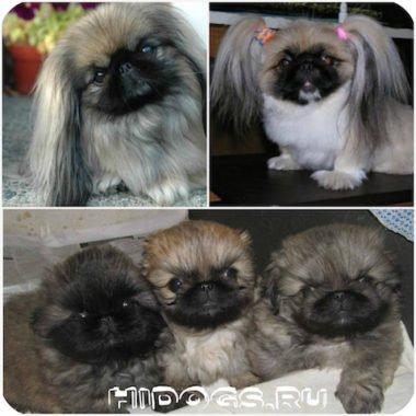 Порода собак пекинес, все о щенках пекинеса - особенности, характеристики, уход за щенком, воспитание.
