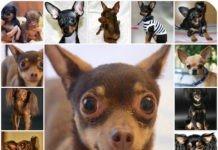 Русский той терьер: особенности породы, воспитание, уход за щенком и собакой.