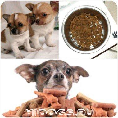 Как правильно и полезно кормить собак породы чихуахуа дома, натуральное питание для собаки, рекомендованное меню и продукты, рацион питания для собаки.